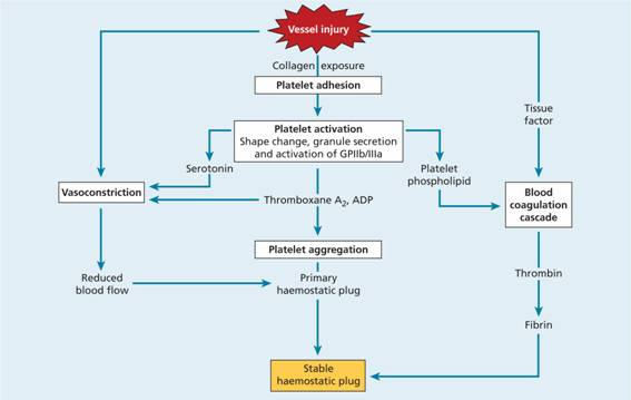 24 Platelets Blood Coagulation And Haemostasis Oncohema Key