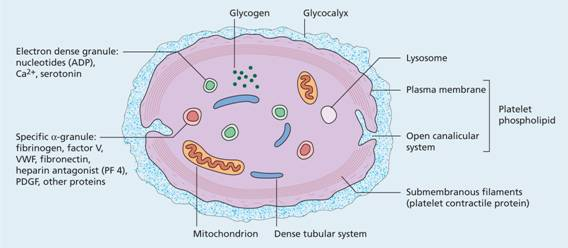Hemostasis and blood clotting |Platelets Diagram Gcse