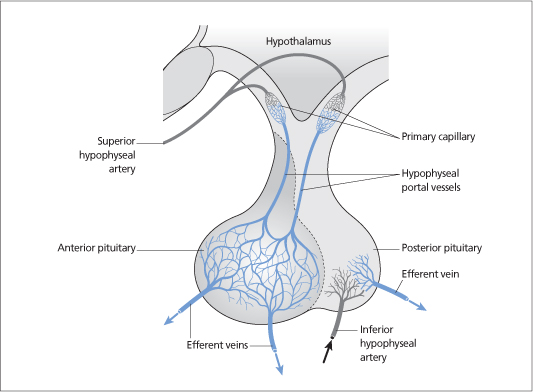 Pituitary anatomy and physiology | Oncohema Key
