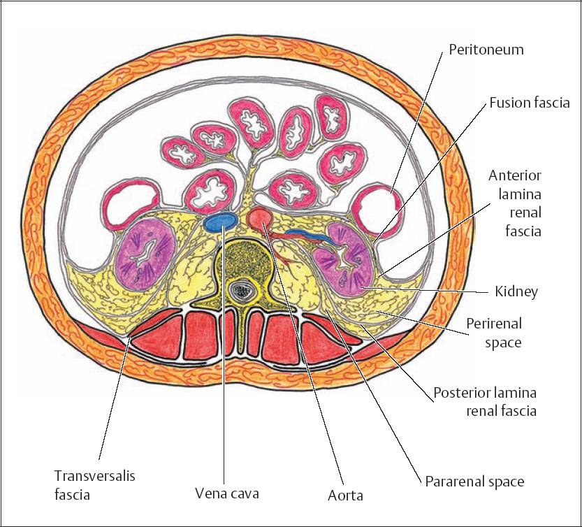 Posterior Aspect Of The Abdominal Viscera And Retroperitoneum on posterior body cavity