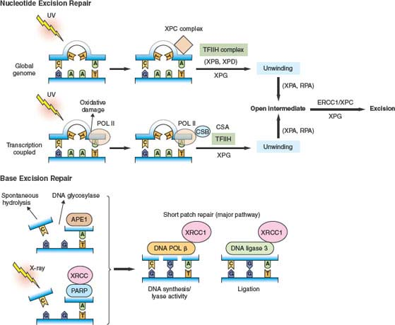 Mechanisms of Genomic Instability | Oncohema Key